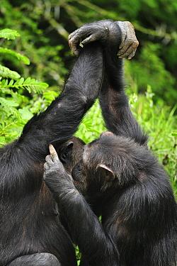 Eastern Chimpanzee (Pan troglodytes schweinfurthii) pair grooming, Sweetwaters Game Reserve, Kenya