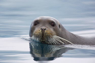 Bearded Seal (Erignathus barbatus) swimming, Norway