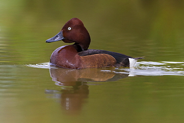 Ferruginous Duck (Aythya nyroca) male, Italy