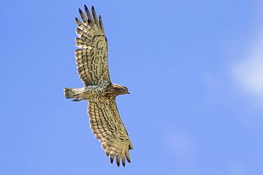 Short-toed Snake-Eagle (Circaetus gallicus) flying, Italy