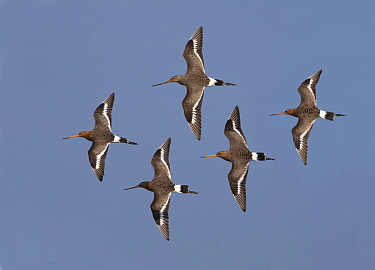 Black-tailed Godwit (Limosa limosa) group flying in formation, Netherlands