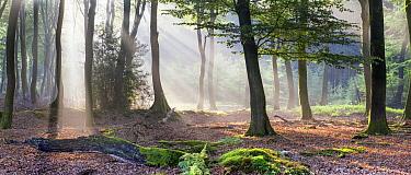 Beech (Fagus sp) forest, Netherlands