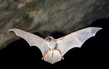 Schreibers' Long-fingered Bat (Miniopterus schreibersii) flying, France