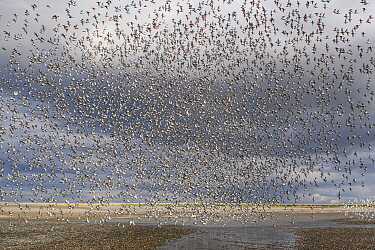 Western Sandpiper (Calidris mauri) flock flying, Alaska