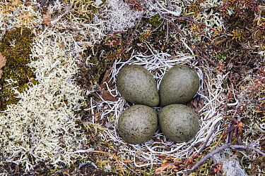 Black Turnstone (Arenaria melanocephala) nest with eggs, Yukon Delta National Wildlife Refuge, Alaska