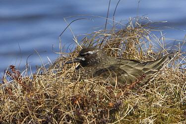 Black Turnstone (Arenaria melanocephala) on nest, Yukon Delta National Wildlife Refuge, Alaska