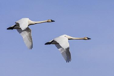 Tundra Swan (Cygnus columbianus) pair flying, Yukon Delta National Wildlife Refuge, Alaska