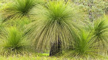 Grass Tree (Xanthorrhoea preissii) group, Yanchep National Park, Australia