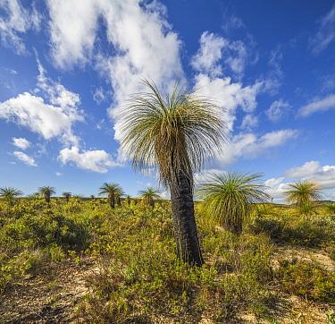 Grass Tree (Xanthorrhoea preissii), Lesueur National Park, Australia