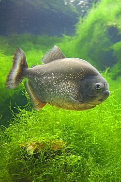 Red-bellied Piranha (Pygocentrus nattereri), captive, native to South America