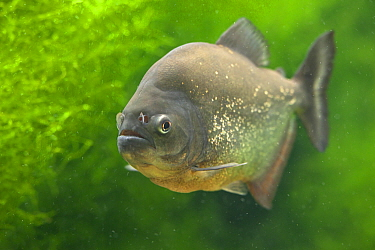 Red-bellied Piranha (Pygocentrus nattereri), captive, native to South America.