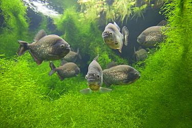 Red-bellied Piranha (Pygocentrus nattereri) group, captive, native to South America