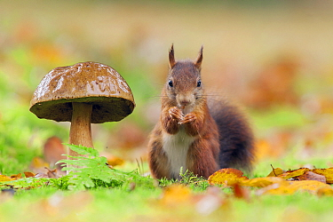 Eurasian Red Squirrel (Sciurus vulgaris) and King Bolete (Boletus edulis) mushroom, Netherlands