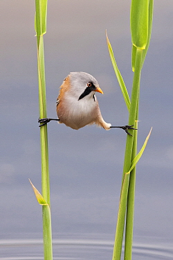 Bearded Tit (Panurus biarmicus) stretched between reeds, Netherlands