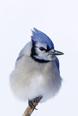 Blue Jay (Cyanocitta cristata), Canada