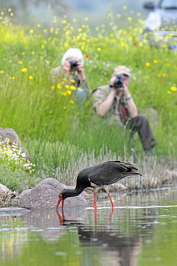 Black Stork (Ciconia nigra) foraging in ditch near photographers, Greece