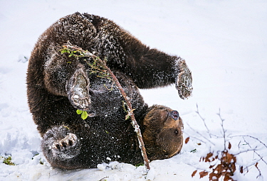 Brown Bear (Ursus arctos) playing in snow, Bavaria, Germany