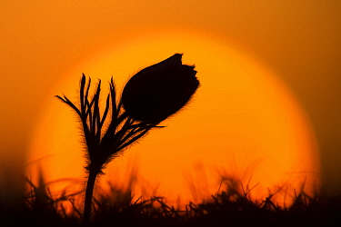 Dane's Blood (Pulsatilla vulgaris) flowering at sunset, Germany