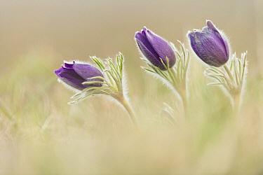 Dane's Blood (Pulsatilla vulgaris) flowering, Germany