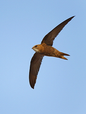 Pallid Swift (Apus pallidus) flying, Spain