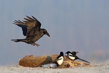 Common Raven (Corvus corax) and European Magpies (Pica pica) feeding on Western Roe Deer (Capreolus capreolus) carcass in winter, Germany