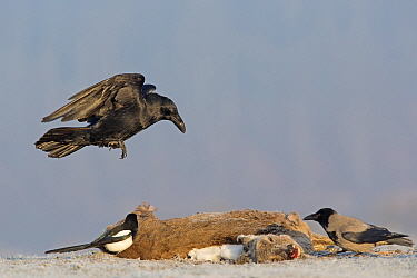 Common Raven (Corvus corax), Hooded Crow (Corvus cornix), and European Magpie (Pica pica) feeding on Western Roe Deer (Capreolus capreolus) carcass in winter, Germany