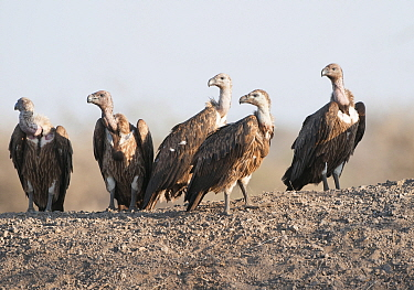 White-rumped Vulture (Gyps bengalensis) group, India