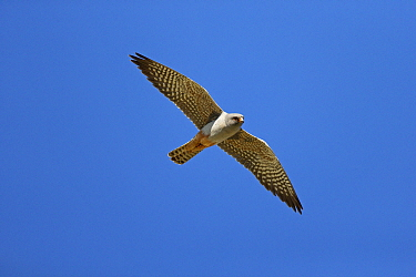 Red-footed Falcon (Falco vespertinus) male flying, Spain
