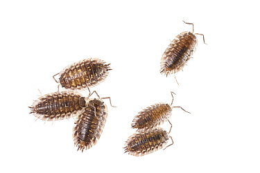 Common Shiny Woodlouse (Oniscus asellus) group, Netherlands