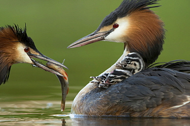 Great Crested Grebe (Podiceps cristatus) male feeding chicks that female is carrying, Netherlands
