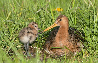 Black-tailed Godwit (Limosa limosa) male with chick, Netherlands
