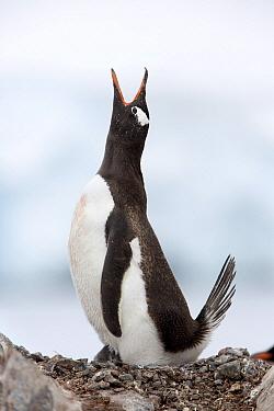 Gentoo Penguin (Pygoscelis papua) calling, Antarctica