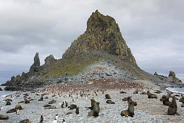 Antarctic Fur Seal (Arctocephalus gazella) rookery and Gentoo Penguin (Pygoscelis papua) colony, Greenwich Island, South Shetland Islands, Antarctica
