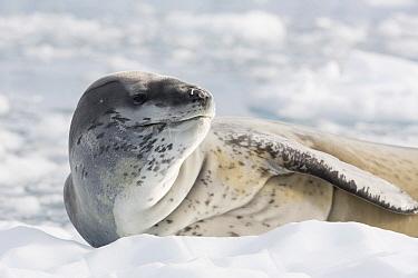 Leopard Seal (Hydrurga leptonyx) on ice floe, Antarctica