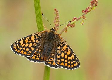 Glanville Fritillary (Melitaea cinxia) butterfly, Netherlands