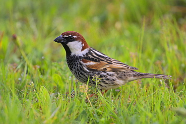 Spanish Sparrow (Passer hispaniolensis), Spain