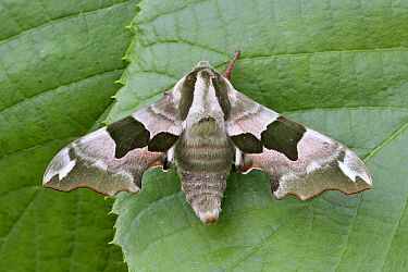 Lime Hawk Moth (Mimas tiliae), Netherlands