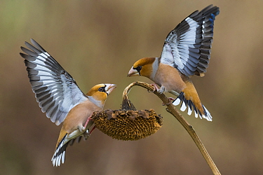 Hawfinch (Coccothraustes coccothraustes) pair fighting, Italy