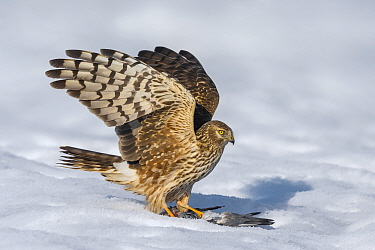 Northern Harrier (Circus cyaneus) with pigeon prey, Italy