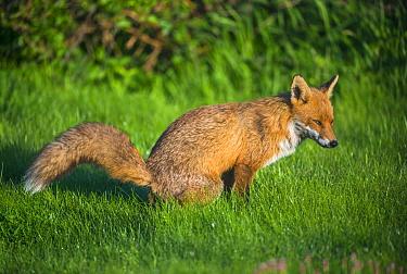 Red Fox (Vulpes vulpes) defecating, Wales, United Kingdom