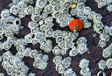 Rough Periwinkle (Littorina saxatilis) and barnacles in upper tidal zone, Wales, United Kingdom