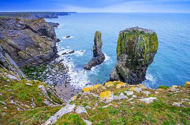 Elegug Stacks, limestome sea stacks along coast, Pembrokeshire Coast National Park, Wales, United Kingdom