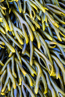 Channelled Wrack (Pelvetia canaliculata), Wales, United Kingdom