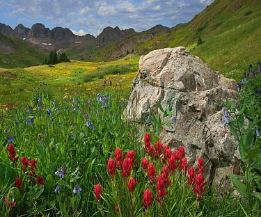 Indian Paintbrush (Castilleja miniata) and Mountain Bluebells (Mertensia ciliata) flowering, American Basin, Colorado