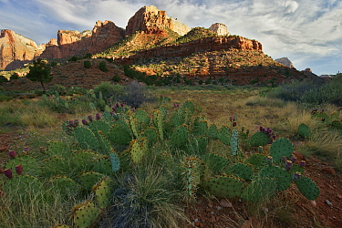 Court of the Patriarchs with Prickly Pear Cactus (Opuntia sp.), Zion National Park, Utah