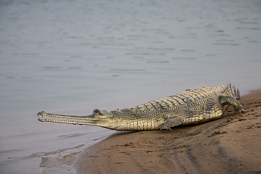 Gharial (Gavialis gangeticus), National Chambal Sanctuary, Madhya Pradesh, India