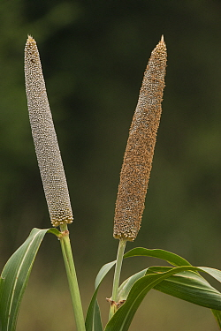 Cattail Millet (Pennisetum glaucum), Uttar Pradesh, India