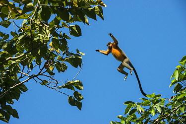 Capped Langur (Trachypithecus pileatus) leaping between trees, Nameri National Park, India