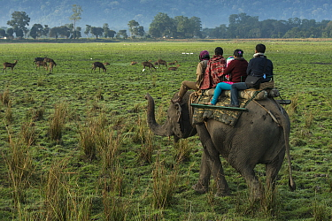 Asian Elephant (Elephas maximus) carrying tourists watching deer, Kaziranga National Park, India