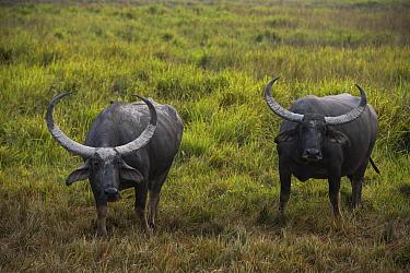 Water Buffalo (Bubalus arnee) pair, Kaziranga National Park, India